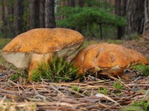 Описание Каштанового гриба