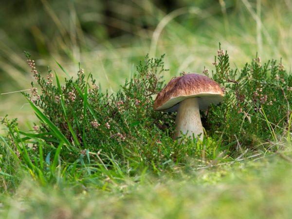 Описание гриба колосовик