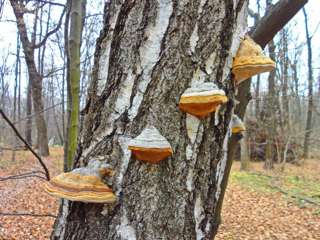 Древесные грибы - фото и описание, польза и вред, как выглядят и где растут