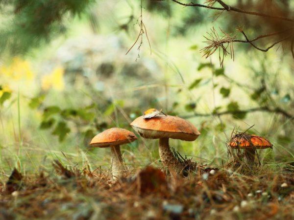 Сбор грибов в Ленинградской области в 2019 году