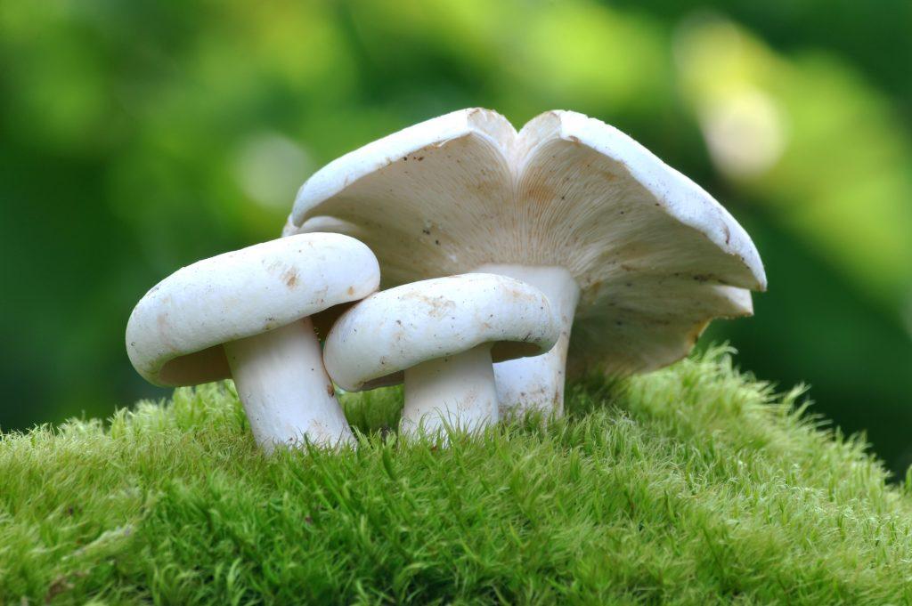 Как выглядят грибы грузди белые. Отличия черного груздя от свинушки