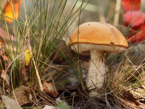 На юге Подмосковья можно найти много разновидностей грибов