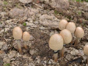 Особенности гриба сорта Навозник