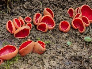 Описание гриба Саркосцифа
