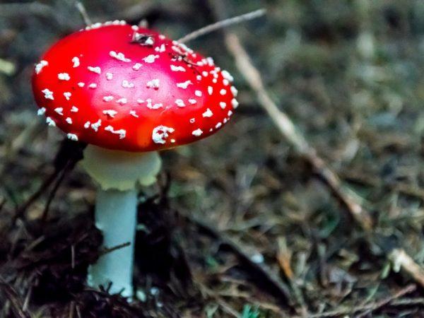 Ядовитые грибы могут убить