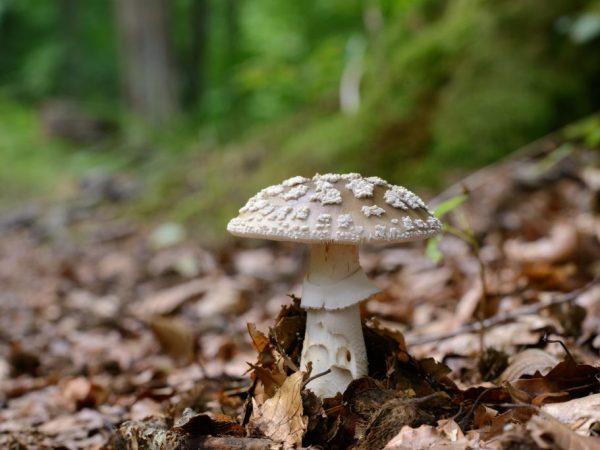 Описание гриба зонтик