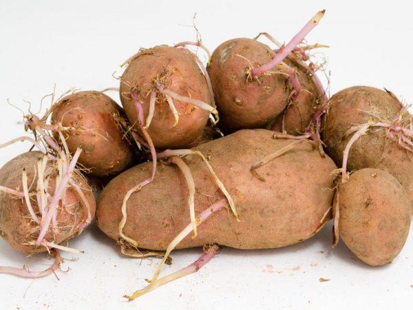 Использование проросшего картофеля