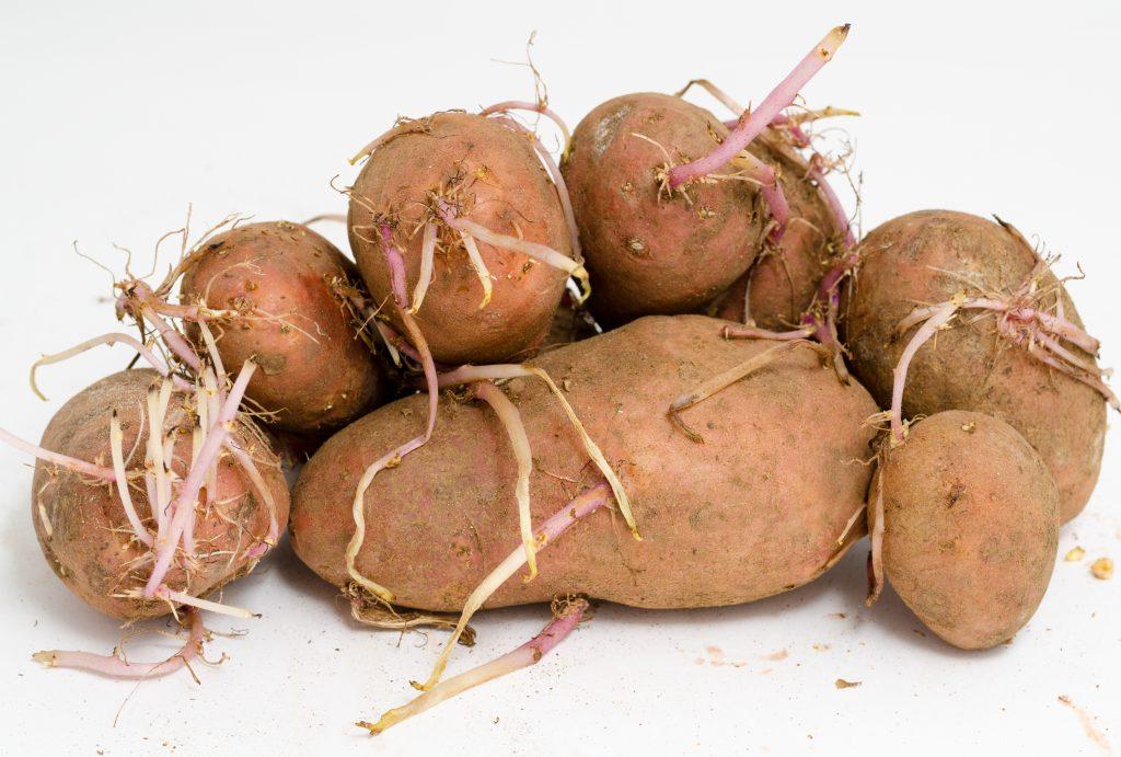 Можно ли есть пророщенный картофель