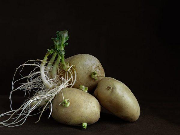 Проросший картофель можно кушать только варёным