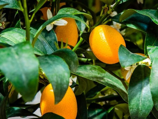 Апельсин это ягода или фрукт ответ