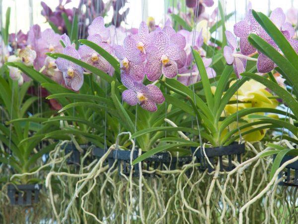 Особенности горшка Корона для орхидей