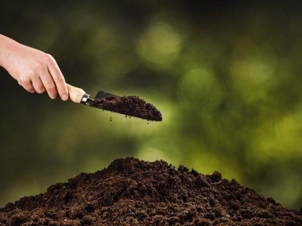 При пересадке клематиса в почву добавляют немного золы