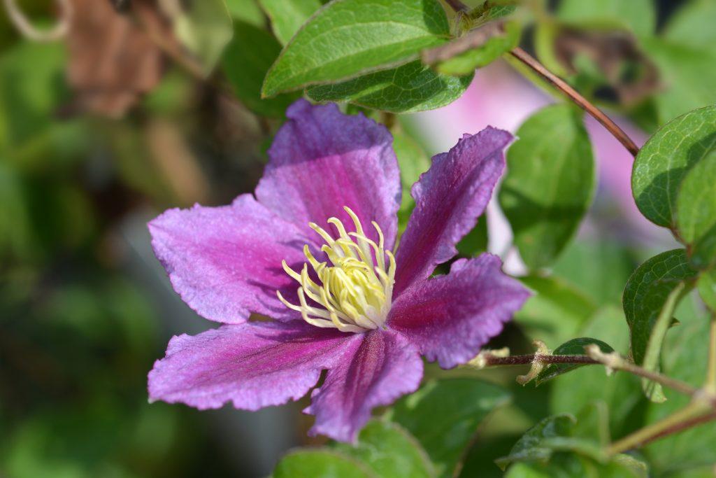 Когда лучше пересаживать клематисы весной или осенью