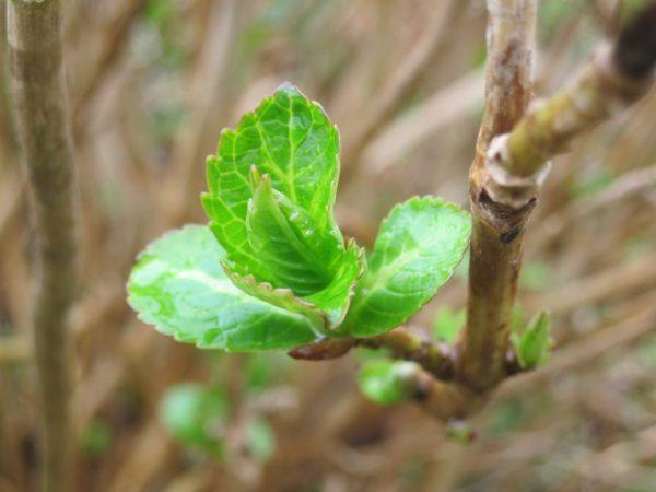 Размножение гортензии черенками осенью