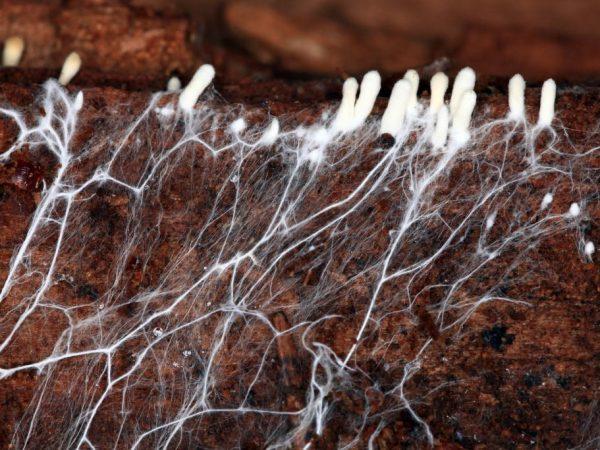 Строение грибного мицелия и его выращивание