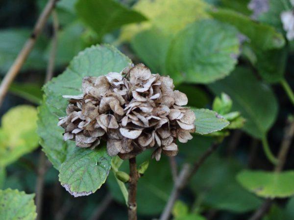Особенности обрезки гортензии осенью