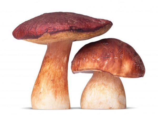 Ножка служит для гриба опорой