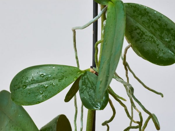 Проблемы с размножением орхидеи