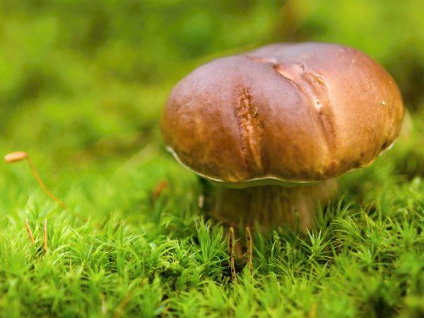 Какие грибы растут среди мхов