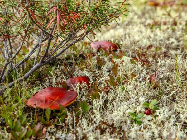 Во мхе встречается несколько разновидностей грибов