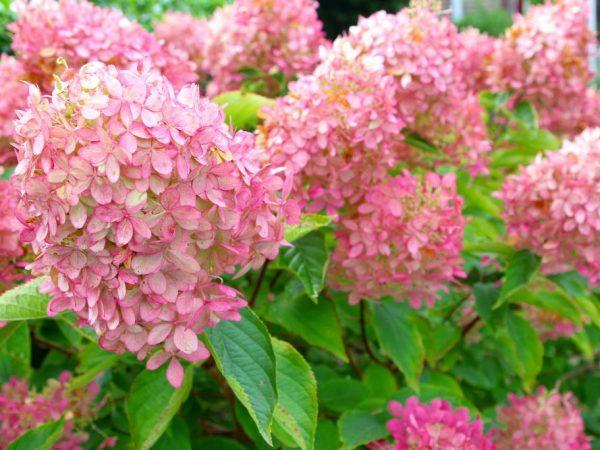 Цветок необходимо подготовить к черенкованию