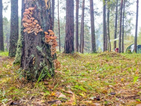 Опята часто растут на деревьях