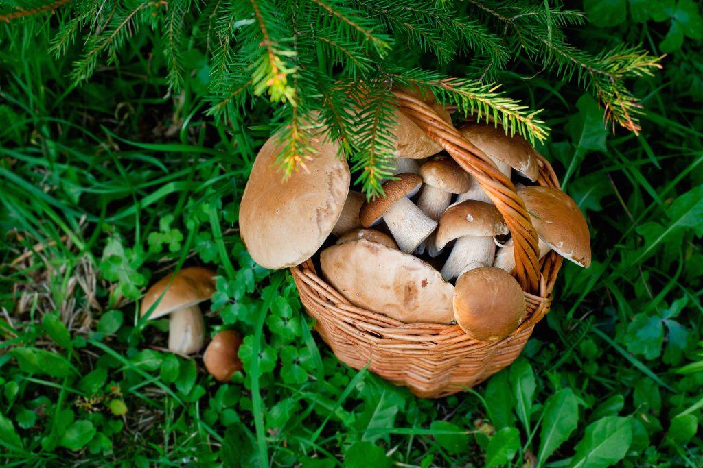 Грибная охота. Какие грибы собирают на Ставрополье осенью