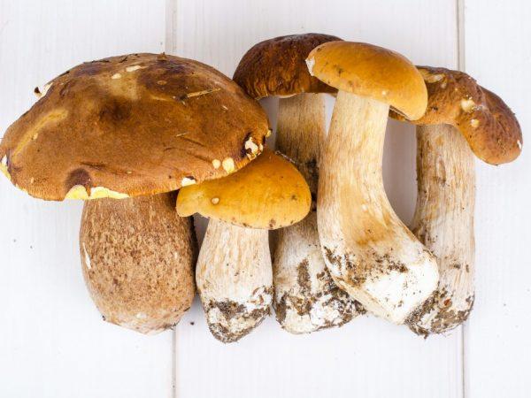 Характеристика трубчатых грибов