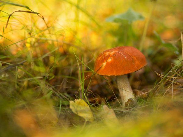 Съедобные грибы в Мурманске