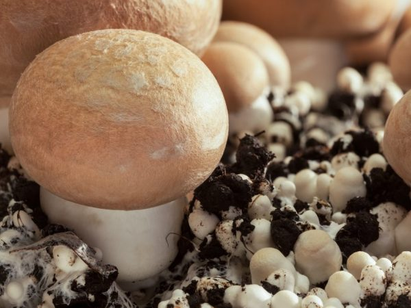 Правила выращивания грибов в домашних условиях