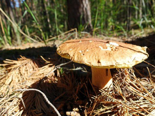 Шляпа гриба может вырасти до 25 см