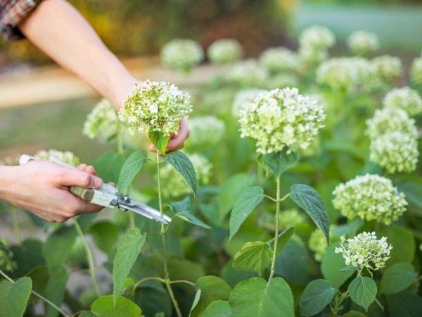 Первые 2-3 года у гортензии срезают соцветие