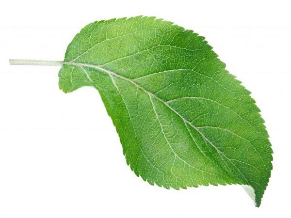 Листья используют для заваривания чая