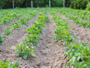 Правила окучивания картофеля культиватором