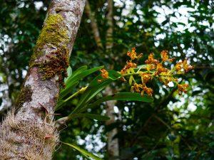 Об орхидеях в экваториальных лесах