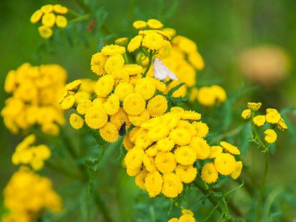 Резкий запах травы отпугивает насекомых