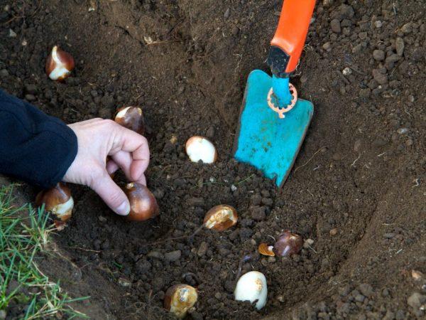 Тюльпаны высаживают в прогретую почву