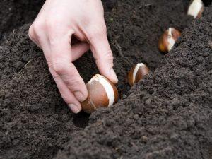 Сроки посадки тюльпанов в Сибири