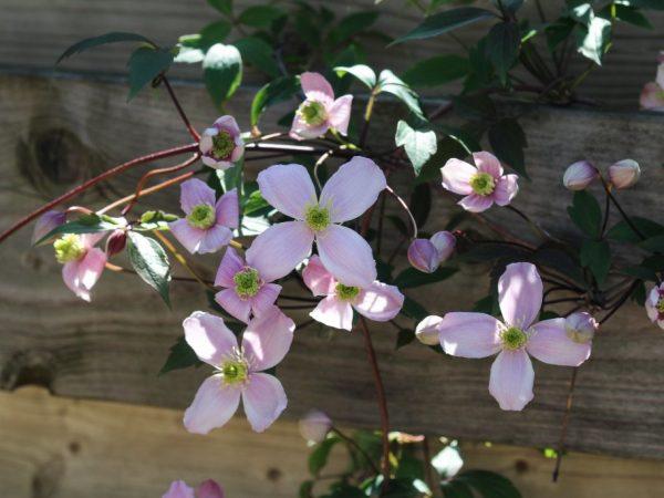 Размножение клематиса осенью
