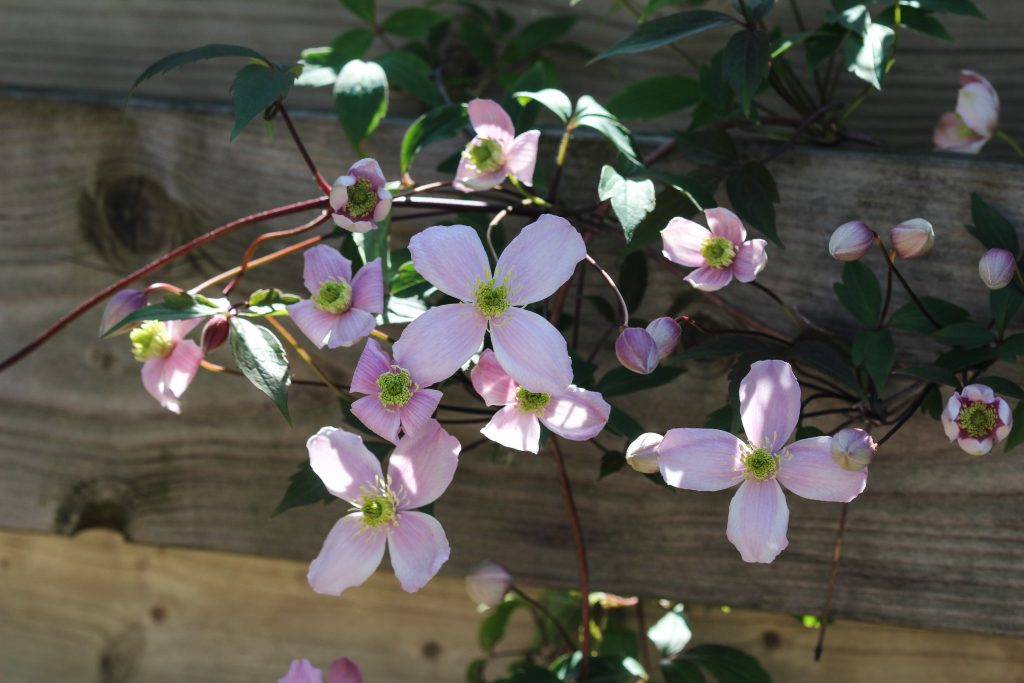Черенкование клематиса весной и осенью