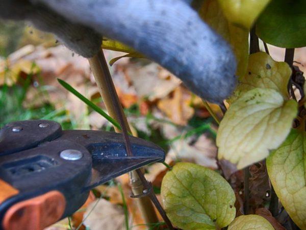 Цветовод срезает черенки клематиса на высоте 20-30 см от земли