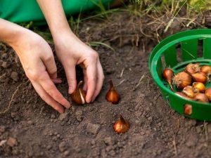 Правила осенней посадки тюльпанов в Ленинградской области