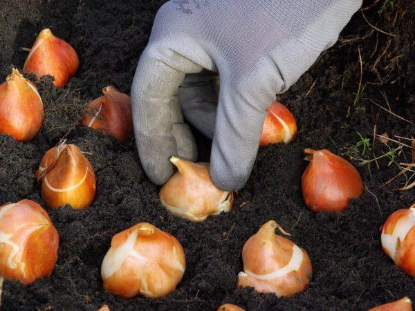 Тюльпаны рекомендуется сажать в середине сентября