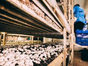 Грибная ферма как форма бизнеса