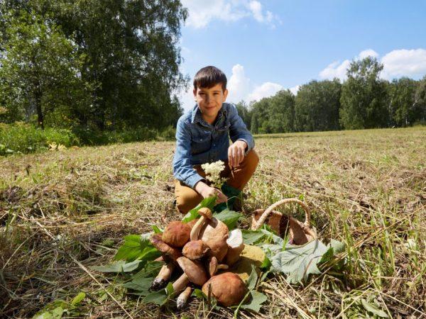 Собирать грибы на обочине не стоит