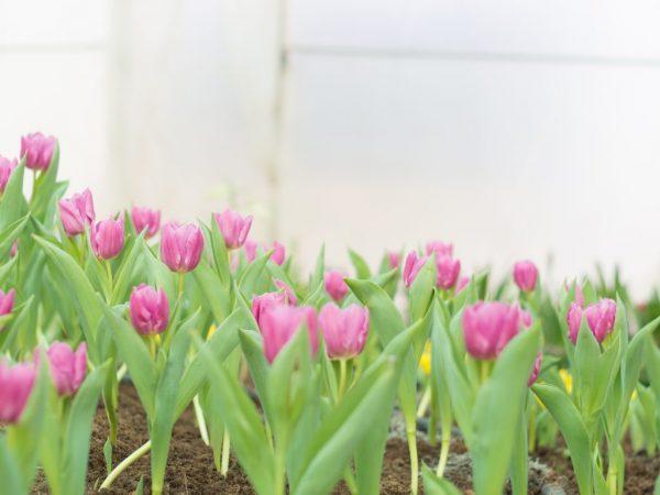 как пересадить цветущий тюльпан