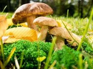 Характеристика грибов Сибири