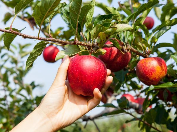 Плоды необходимо аккуратно снимать с дерева