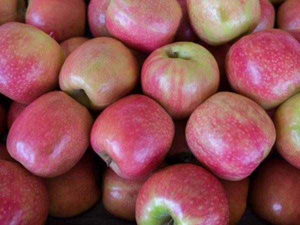 Яблоня дает отличный урожай