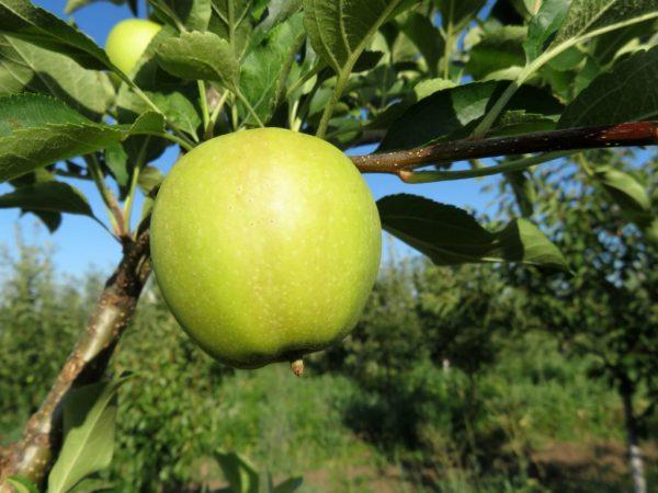 Выращивание яблони Кандиль Орловский
